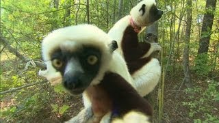 How smart is a Lemur?