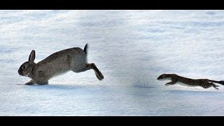 Ermine animal preys large rabbit | The strongest attacks in the animal world
