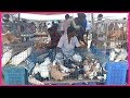 Pigeons Best High Flying Pigeons Market Breeding Loft Cages And Breeding Pigeons Day Activity mp3