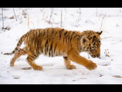 Оставшийся без матери истощенный тигренок пришел к людям в Приморье