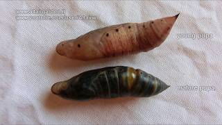 Macroglossum stellatarum: How to tell if a pupa is dead.