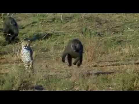 A Baboons But Baboon chasing Cheetah...
