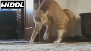 BEST FUNNY CATS COMPILATION best of Funny Cats Videos