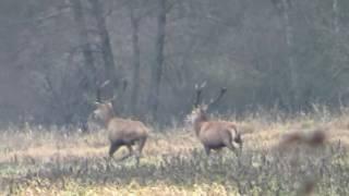 Driven hunt/wildboar 2015 16