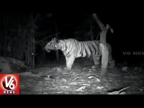 ​Asifabad Forest : Tigress Phalguna's Second Litter Brings Cheer In Officials | V6 News