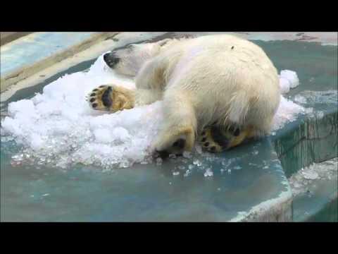 2011年7月24日 釧路市動物園 ツヨシと氷1