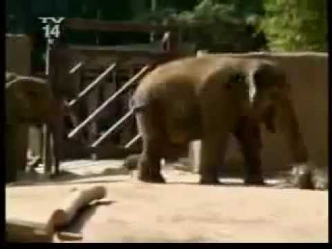 guys head gets stuck in an elephants butt - YouTube