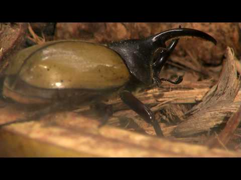 Big Beetles-Cincinnati Zoo Video