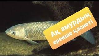 подводная охота на амура