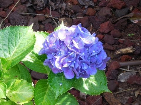 Hydrangea Gardening, Purple Flowers, Perennial, Nursery, Home and Garden, Nurseries