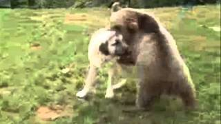 Dog vs.Bear