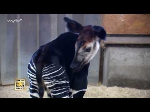 Okapibaby sorgt für Begeisterung