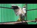 Burung Trucukan Gacor Ropel Super Ngrecok