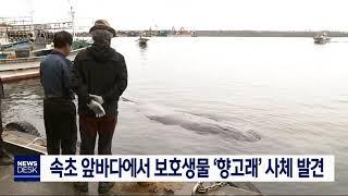 속초 앞바다에서 '향고래' 사체 발견