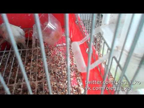 Животные в Никишино 24. А почему канарейка не поет