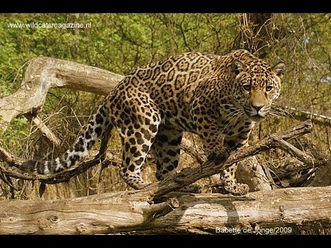 Jaguar Vs Two Lions Youtube