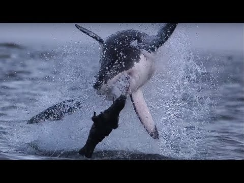 Giant Great White Shark ATTACKS! - Super Giant Animals - BBC