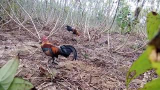 Bẫy gà rừng ngày 5 - 3 - 2017