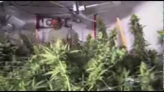Reportage complet Cannabis L