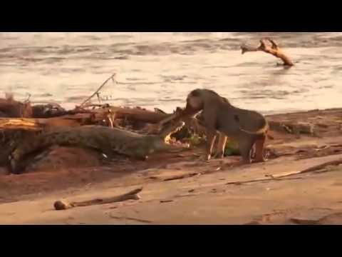 Pelea Salvaje entre León y Cocodrilo (Videos Asombrosos)