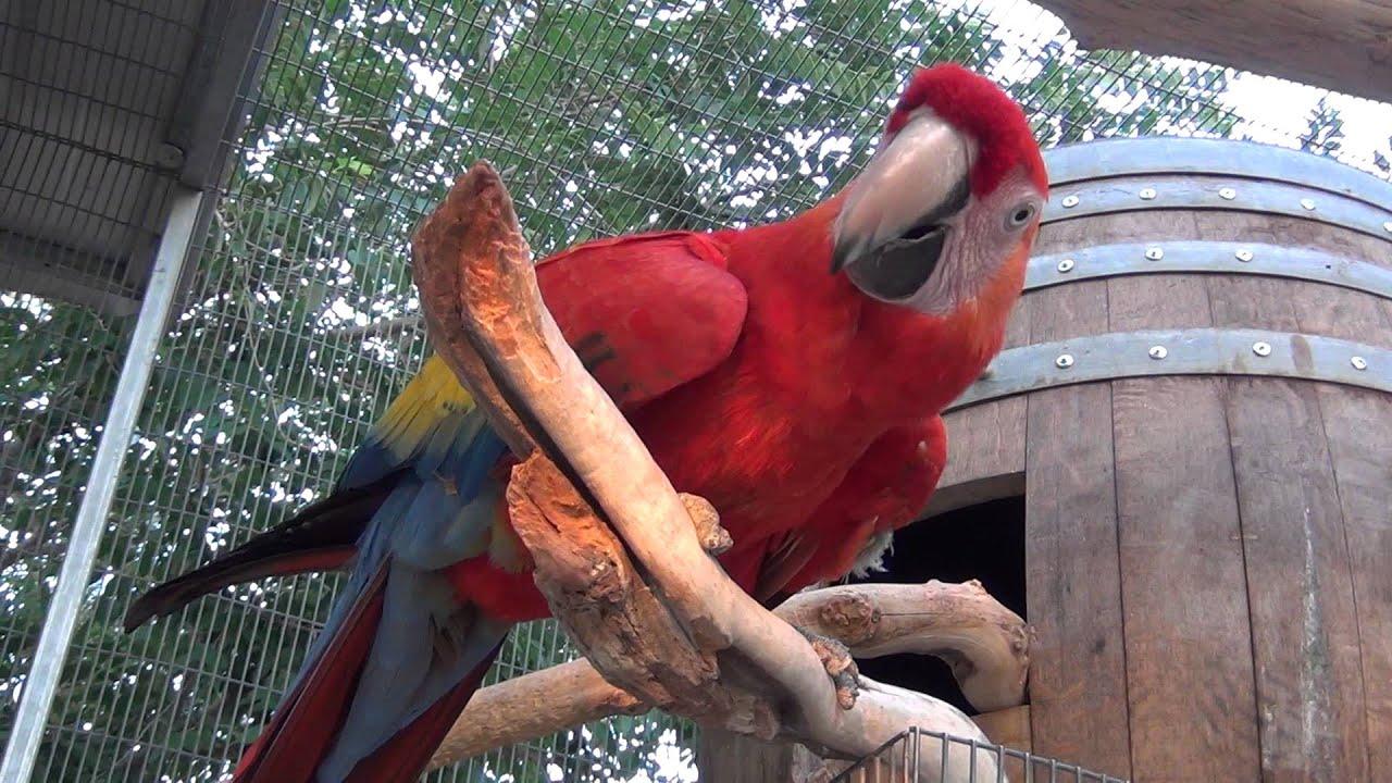 Ultimate Macaw In Pure Hd Wine Barrel Nest Box Pt4