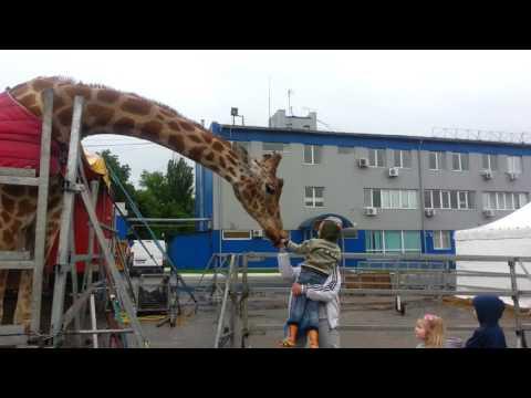 Дети кормят из рук жирафа цирка Кобзов. Вы такого не видели, посмотрите какого цвета язык жирафа