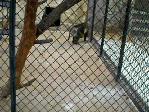 Mangabey Ball Play Video