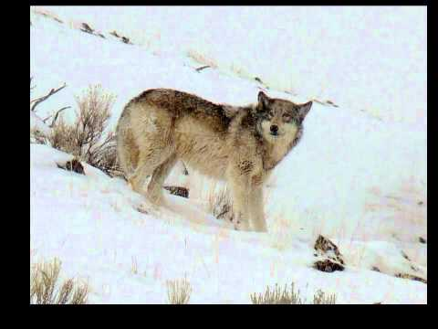 Handsome Canyon Pack Yearling - Yellowstone National Park