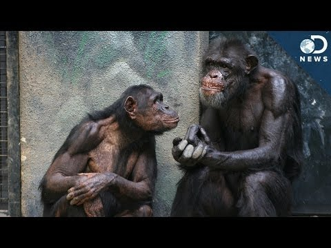 Why Can't Chimpanzees Speak?