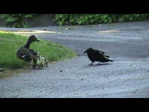 Mama Duck Fights Crows Attacking Baby Ducklings - YouTube