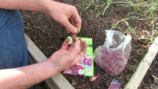 How to Plant Onion Sets - Spacing Matters: 4 inches for Full Sized Onions - MFG 2014