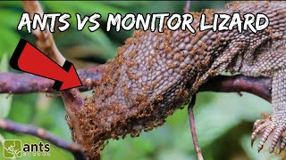Fire Ants vs. Monitor Lizard