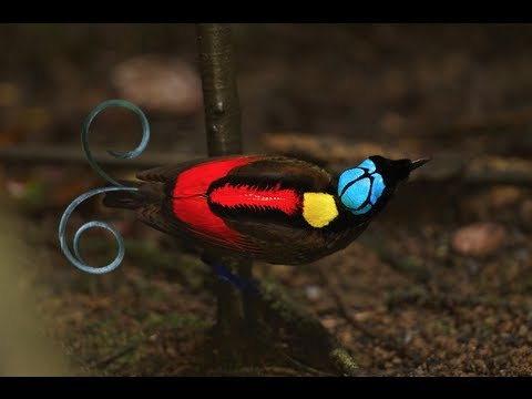 Wilson's Bird-of-paradise video