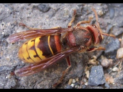 Killer bee insect
