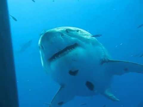 Deep Blue - The biggest great white shark ever filmed