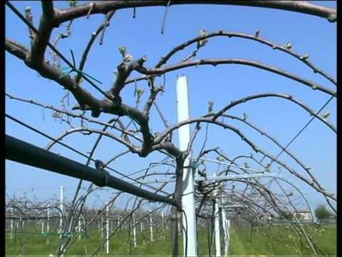 Info su kiwi coltivazioni arboree for Kiwi coltivazione