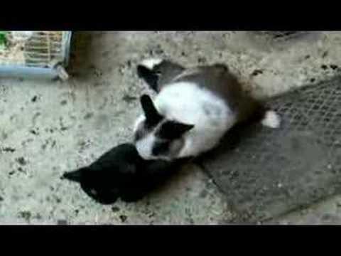 Кошак vs Кролик