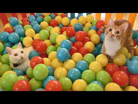 Play this video Two Cats and 500 Balls in a Ball Pit !!