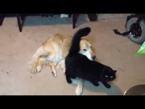Big Black Pussy Molests Dog (cute Cat Video!!!!) video