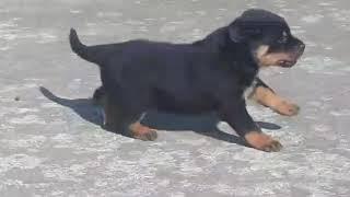 Rottweiler male super quality puppies sale jodhpur Rajasthan india 7232861861