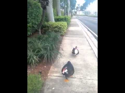 Ducks following me home