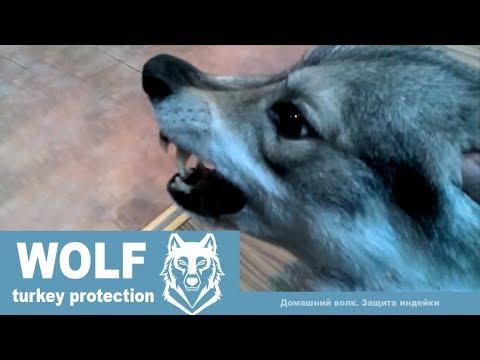 Домашний волк Макс и защита ИНДЕЙКИ