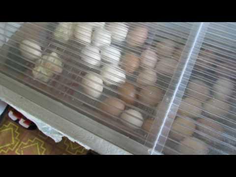 Совместная инкубация  Часть 3  Вывод