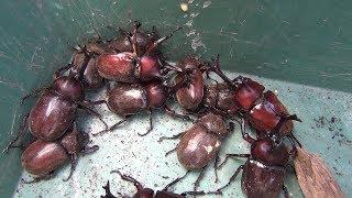 カブトムシフェスタ2018 A large number of Japanese rhinoceros beetles 【カブトムシ・クワガタムシ】