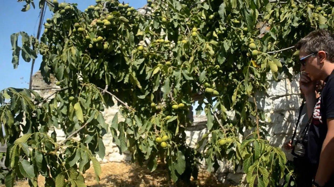Технология выращивания ореха грецкого в украине 24