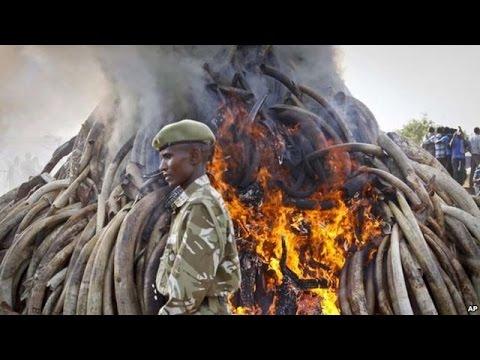 In Comemoration of World Wildlife Day, Kenya Destroy 15 Ton Elephant Ivory