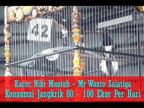 SUARA BURUNG - Jangkrik 80 - 100 Ekor Perhari Bikin Kacer Niki Manteb Buka Ekor, Nembak - Ngeroll