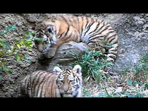06-多摩動物公園の子トラ。Cute Tiger Cubs.