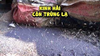 Kinh hãi côn trùng lạ đông hơn kiến tấn công người dân Phú Yên
