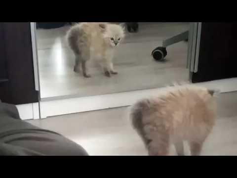 子猫が鏡に映った自分に怒って威嚇する姿が可愛すぎ